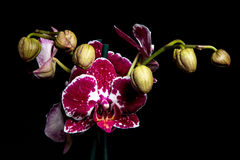 Orchid1 Royalty Free Stock Images