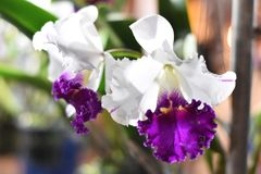 Orchid. Beautiful flowers in the westbound glistening natural to feel refreshed Royalty Free Stock Photography