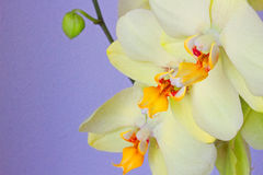 Orchid. Royalty Free Stock Images