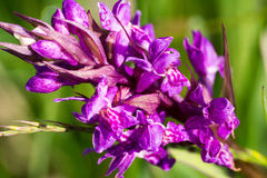 Orchid. Beautiful orchid in the meadow Royalty Free Stock Images