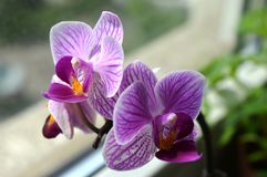 Orchid. Beautiful purple flower that is growing in my apartment Stock Photos