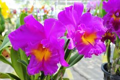 Orchid. Beautiful  purple orchid   in the Thailand Royalty Free Stock Photography