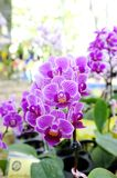 Orchid. Beautiful  purple orchid   in the Thailand Stock Photography
