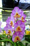 Orchid. Beautiful  purple orchid   in the Thailand Royalty Free Stock Photos