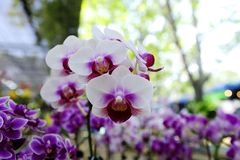 Orchid. Beautiful  purple orchid   in the Thailand Stock Photos
