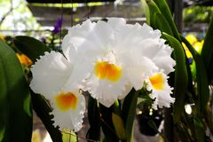 Orchid. Beautiful  White orchid   in the Thailand Stock Photos