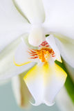 Orchid beauty. Royalty Free Stock Photography