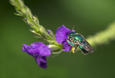 Orchid bee Royalty Free Stock Photography