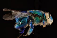 Orchid Bee, Macro, Insect Royalty Free Stock Images
