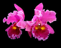 Orchid on black. Two Orchid on black Stock Photos