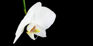 Orchid on Black. White orchid isolated on black. Space for Copy Stock Images