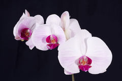 Orchid on Black. Moth Orchid isolated on black stock photo