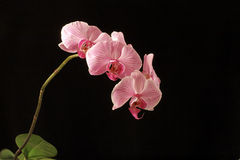 Orchid on black. View of a pink orchid in full bloom on a black background Stock Images