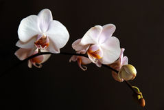 Orchid on Black Background Royalty Free Stock Photos