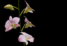 Orchid on black background Stock Images