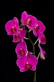 Orchid on Black Background Stock Photo
