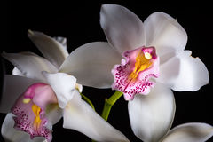 Orchid on black background. Stock Images