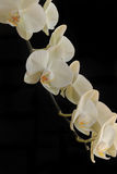 Orchid on black background. Cream colored flowers of an orchid with a black background Royalty Free Stock Photos