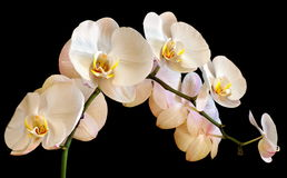 Orchid on a black background. Picture orchid on a black background Royalty Free Stock Photography