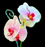 Orchid on a black background. Picture orchid on a black background Stock Images