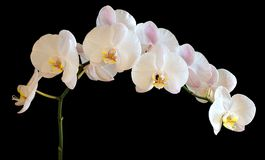 Orchid on a black background. Picture orchid on a black background Royalty Free Stock Photos