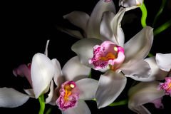 Orchid on black background. Stock Image