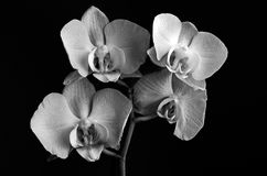 Orchid on black Royalty Free Stock Photos