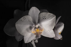 Orchid. Black and white orchid with yellow centre Royalty Free Stock Image