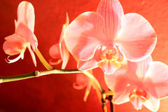 Orchid in bloom Royalty Free Stock Photography