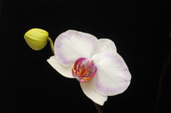 Orchid in bloom Royalty Free Stock Photos