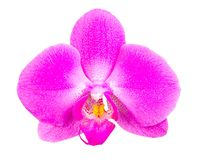 Orchid bloom Stock Images