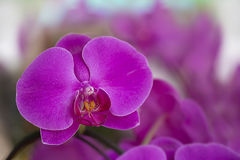 Orchid bloom Royalty Free Stock Photo