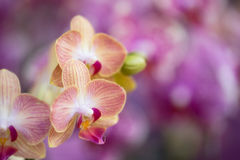 Orchid bloom Stock Photography