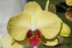 Orchid in bloom in spring Royalty Free Stock Photography