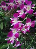 Orchid. Bloom violet color is beautiful Royalty Free Stock Photography