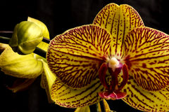 Orchid bloom stock image