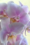 Orchid bloomed Stock Photos