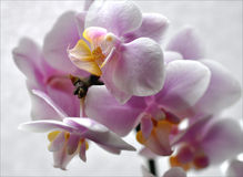 Orchid bloomed Stock Photography