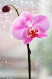 Orchid royalty free stock images