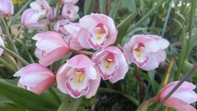 Orchid blooming. Beautiful orchid in the park at Myanmar Stock Photos