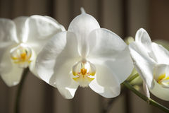The  Orchid is Blooming now Stock Photography