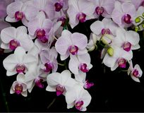 Orchid Blooms Stock Photography