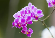 Orchid Blooms Stock Photo
