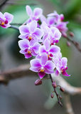Orchid Blooms Royalty Free Stock Photography