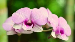 Orchid blooms in Sri Lanka stock photography