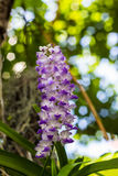 Orchid. Bloossom orchid flowers (Rhynchostylis Coelestis)in the garden with soft focus background Stock Photography