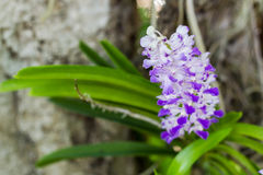 Orchid. Bloossom orchid flowers (Rhynchostylis Coelestis)in the garden with soft focus background Royalty Free Stock Photo