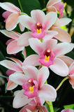 Orchid blossom Stock Photos