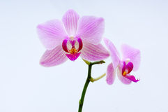Orchid blossom Royalty Free Stock Photos