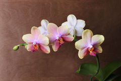 Orchid blossom Stock Images